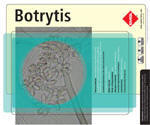 Botrytis is a filamentous fungus isolated from decaying plants. Despite its cosmopolitan feature, it is more commonly reported from tropical and temperate areas. o infections due to Botrytis have been reported in humans or animals. It may act as a facultative pathogen in plants and is commonly considered as a contaminant.