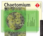 Chaetomium is a dematiaceous filamentous fungus found in soil, air, and plant debris. As well as being a contaminant, Chaetomium spp. are also encountered as causative agents of infections in humans. Some species are thermophilic and neurotropic in nature. Chaetomium spp. are among the fungi causing infections wholly referred to as phaeohyphomycosis. Fatal deep mycoses due to Chaetomium atrobrunneum have been reported in an immunocompromised host. Brain abscess, peritonitis, cutaneous lesions, and onychomycosis may also develop due to Chaetomium spp.