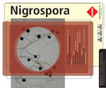 Nigrospora is a filamentous dematiaceous fungus widely distributed in soil, decaying plants, and seeds. It is a common laboratory contaminant. Although it has been isolated from a few clinical samples, its pathogenicity in man remains uncertain. Nigrospora has been isolated from cutaneous lesions of a leukemic patient and from a case with keratitis. However, its pathogenic role as a causative agent is not well-known.