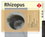 Rhizopus is a cosmopolitan filamentous fungus found in soil, decaying fruit and vegetables, animal feces, and old bread. While Rhizopus spp. are common contaminants, they are also occasional causes of serious (and often fatal) infections in humans. Some species are plant pathogens. Rhizopus spp. are among the fungi causing the group of infections referred to as zygomycosis. Although the term mucormycosis has often been used for this syndrome, zygomycosis is now the preferred term for this angio-invasive disease. Rhizopus arrhizus is the most common cause of zygomycosis and is followed by Rhizopus microsporus var. rhizopodiformis.